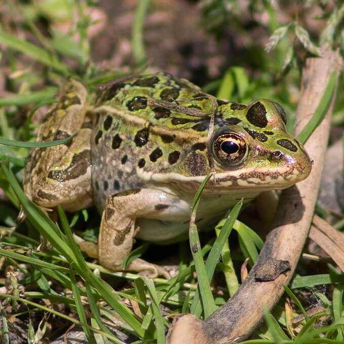 Frog of the Yampa