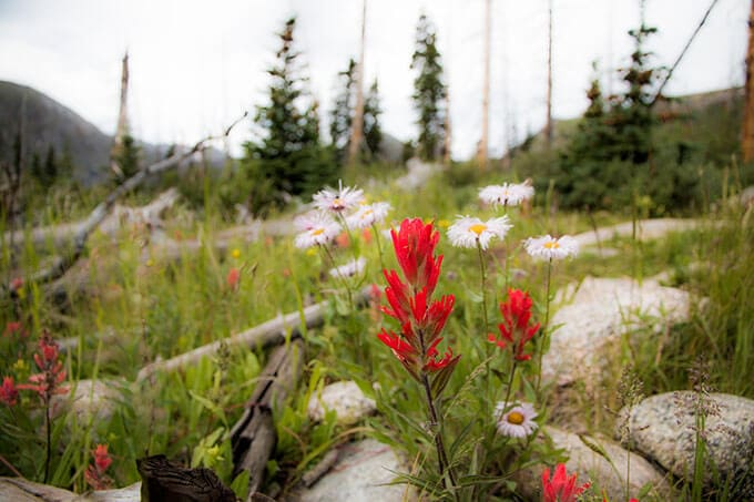 Indian Paintbrush and Daisies