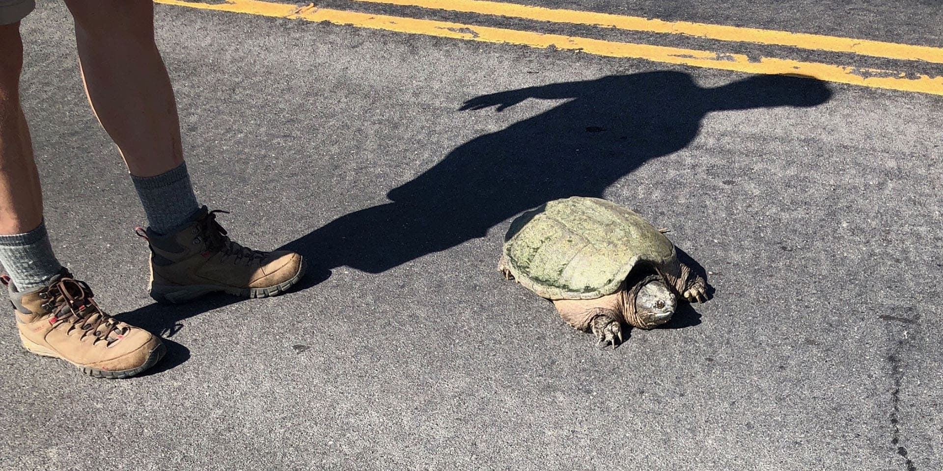 Snapping-Turtle-on-the-Road