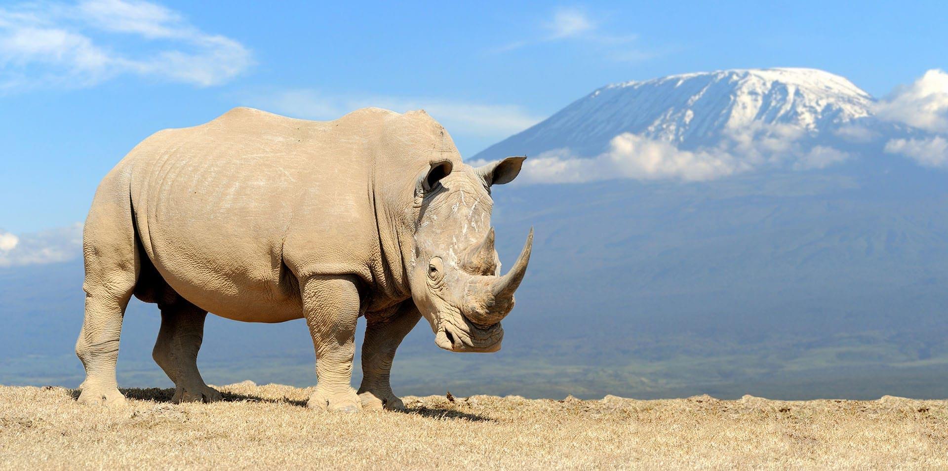Majestic Rhino