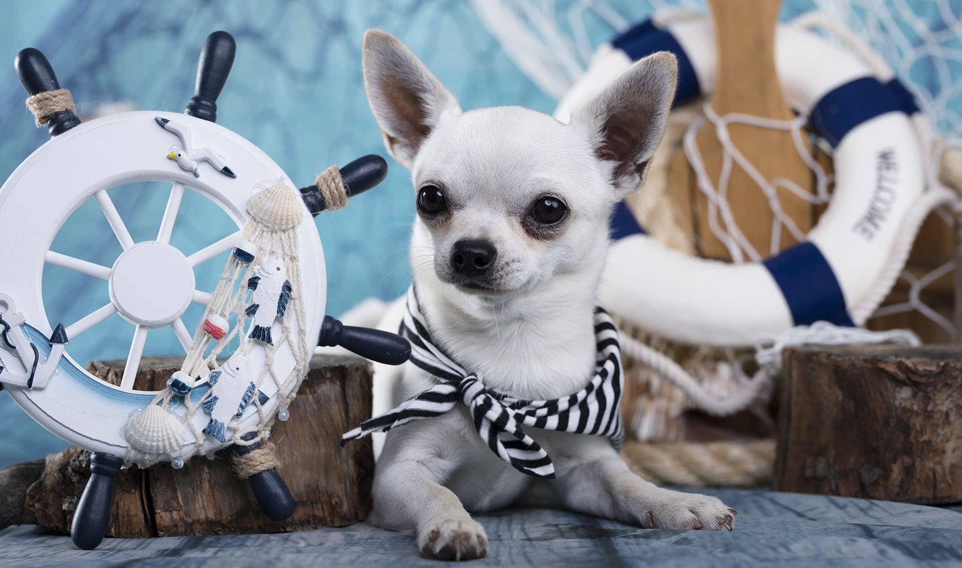 Sailing Chihuahua